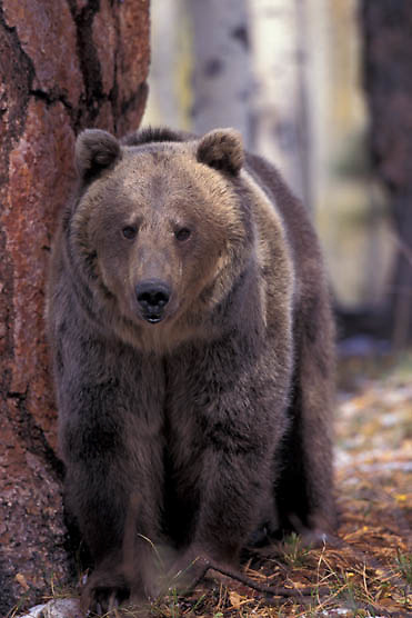 Grizzly Bear, (Ursus horriblis) In western Rockies. Montana. Fall.  Captive Animal.