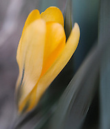 Close up photo of a yellow crocus in Roslyn Heights, NY.
