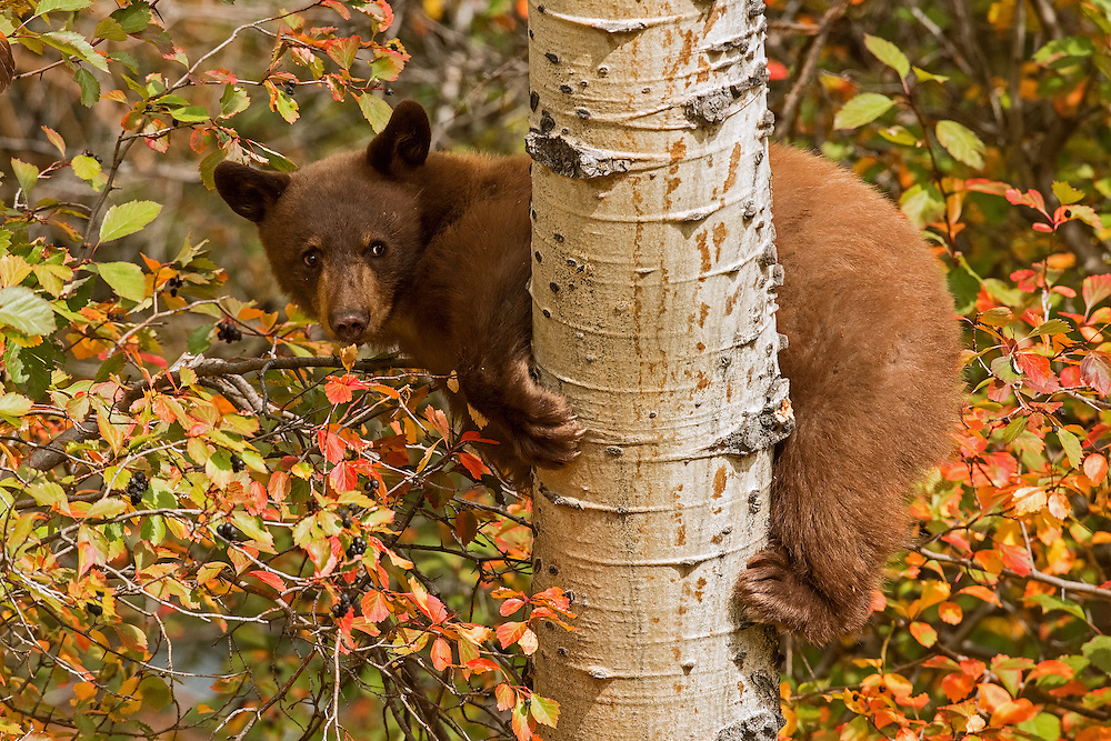 With their short, curved claws, black bears are excellent tree climbers. This black bear cub was extremely adept at navigating up and down trees and bushes in search of ripe berries.