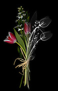 An X-ray of a bouquet with tulips combined with a visible light image of the came bouquet .  This low energy x-ray shows the interior structure of the flowers.