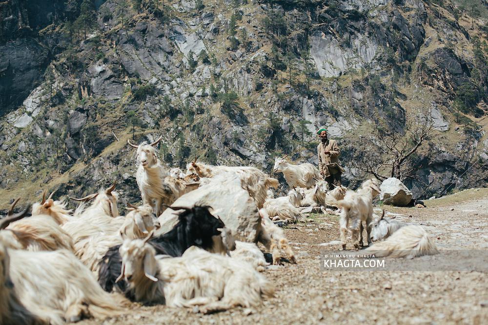 Goatheard with his goats near Tranda, National Highway 22, Himachal Pradesh, India