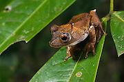 Tree Frog (Hypsiboas calcarata) formally Hyla calcarata<br /> Rain Forest<br /> Iwokrama Reserve<br /> GUYANA<br /> South America