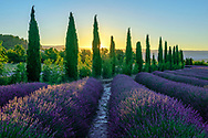 Europe; France; Provence, french, Vaucluse, lavender field st sunrise