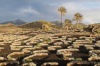 Espagne. Iles Canaries. Lanzarote. Culture de la vigne sur la lave. // Spain. Canary islands. Lanzarote. vineyard agriculture