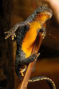 Alpine Newt (Triturus alpestris) female laying an egg. Kiel, Germany | Das Bergmolch-Weibchen (Triturus alpestris) klebt seine Eier einzeln an Wasserpflanzen fest. Dazu presst es in einer typischen Körperhaltung den Hinterleib an den Untergrund.