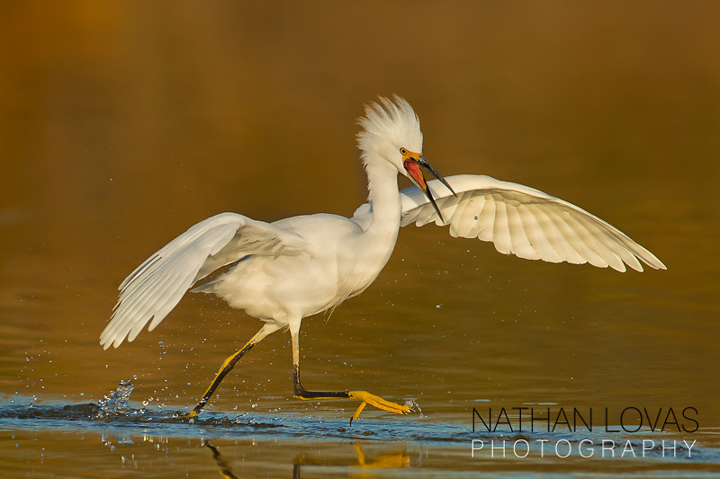 Snowy egret running in golden water;  Arizona.