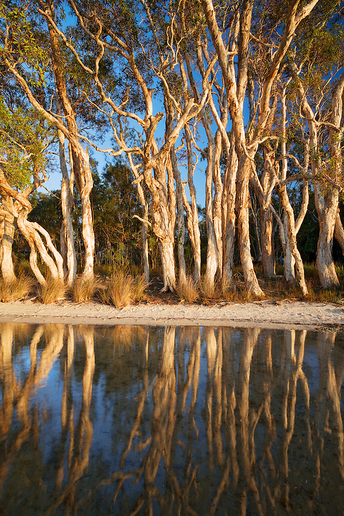 Lake Weyba's paperbarks nestled close to the edge of this shallow salt water lake. trees, lake, paperbark, Weyba, Sunshine Coast, Queensland,