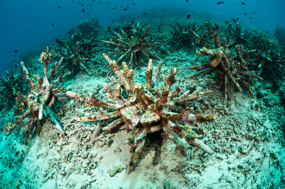 These spikey 'eco reefs' are designed to stabilise the coral rubble on damaged reefs, giving hard corals the chance to grow. Bunaken Marine Park is a very popular dive destination, famous for its beautiful coral reefs, marine biodiversity and vertical walls.