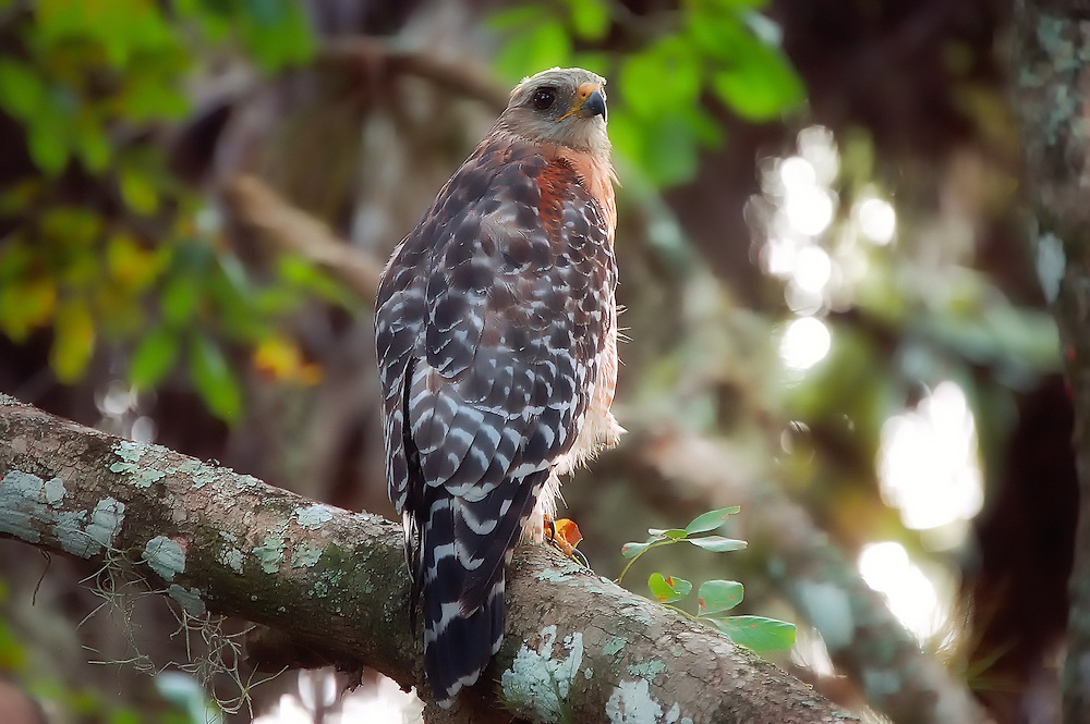 Red-shouldered hawk by the Myakka River in Sarasota County. Florida. I followed this one through a flooded wooded area for some time, until it let me get close enough for this shot.
