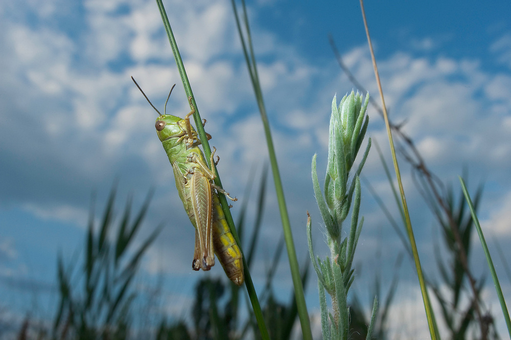 Meadow grasshopper {Chorthippus parallelus} in Moldova near adurea Domnesca National Park