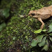 Dwarf Toad (Ingerophrynus parvus) in Lam Nam Kra Buri national marine park, Thailand