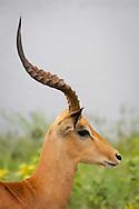 Side view of head of an impala, Botswana.