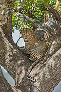 A male leopard rests in a tree on the Serengeti plains of east Africa.
