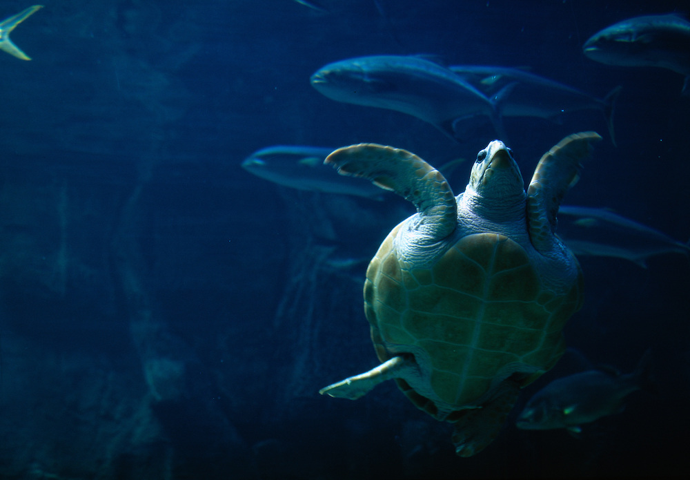 South Africa, Cape Town, Leatherback Turtle (Dermochelys coriacea) swimming inside Two Oceans Aquarium (captive)
