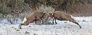 During the winter months, the bighorn sheep rut is at its peak with mature rams charging each other at speeds of up to 30 mph. When the big rams eventually collide, the cracking sound of their impact can be heard from a mile away.