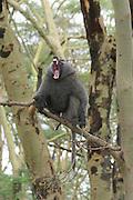 Kenya, Lake Nakuru National Park, Large aggressive dominant male Olive Baboon (Papio anubis) with open mouth