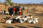 Samburu Maasai woman milking goats. Samburu Maasai an ethnic group of semi-nomadic people Photographed in Samburu, Kenya