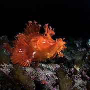 Bright orange Merlet's scorpionfish in Papua New Guinea with attitude in its facial expreesion