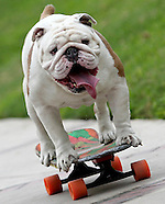 Otto, Skateboarding Bulldog Sets World Record