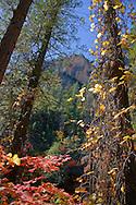 Trees wrapped in Fall color - Oak Creek Canyon, AZ