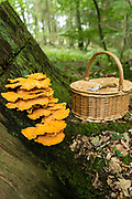 Forgaging for mushrooms, green leaves and wild berries in the rural Herefordshire countryside and woodlands during mid summer