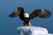 Bald Eagle, Haliaeetus leucocephalus, on iceberg, Kenai Peninsula, Homer Spit, Homer, Alaska. Digital original, #2006_0736 ©Robin Brandt