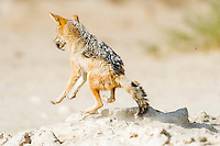 Black-backed Jackal hunting sandgrouse at a waterhole, Kgalagadi Tranfrontier Park, Northern Cape, South Africa