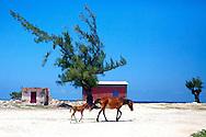 Horses in Caletones, Holguin, Cuba.