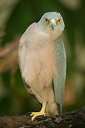 Fijian Sparrow Hawk or Goshawk (Reba accipiter rufitorques); Kula Eco Park, Coral Coast, Viti Levu, Fiji.