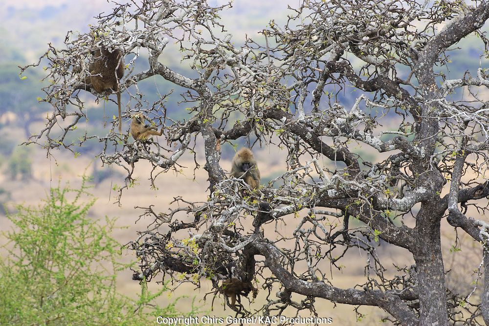 Olive baboon troop in a tree.