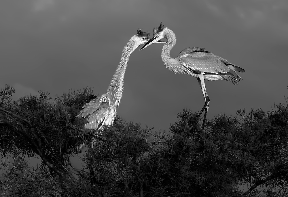 Immature Great Blue Herons
