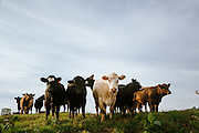 Cows on a pasture in Iowa. Country life and Agriculture.<br /> Photographed by editorial lifestyle photographer Nathan Lindstrom<br /> <br /> Nathan Lindstrom Photography<br /> <br /> © 2015 Nathan Lindstrom