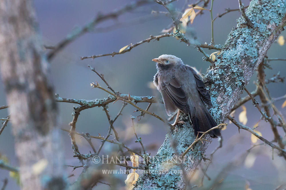 A yellow-billed babbler perches on a thick branch, Mudumalai National Park, India.