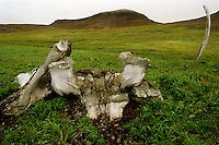 039078.AA.0820.warming38.kc--Yttygran, Russia--This is ''Whalebone Allee,'' a shrine to the whale, built in the 13th or 14th century. It is the abandoned construction of a relatively large and organized civilization, with an amphitheater and 120 stone meat caches that still contain mummified whale meat. It is an island called Yttygran. On the beach is a stretch of 60 massive bowhead whale skulls arranged geometrically. Tall whale jawbones stand upright amidst them like sentries. .