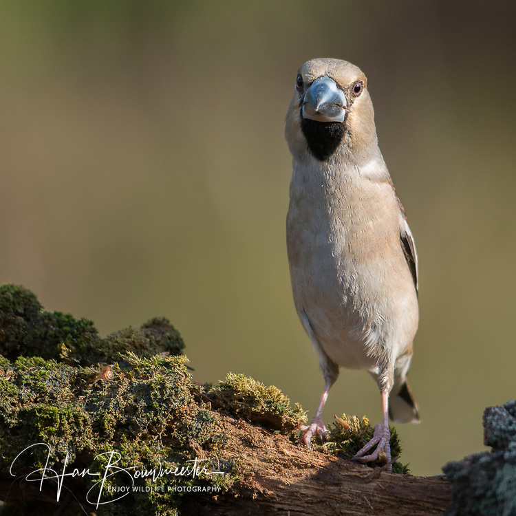 Appelvink; Coccothraustes coccothraustes; Hawfinch