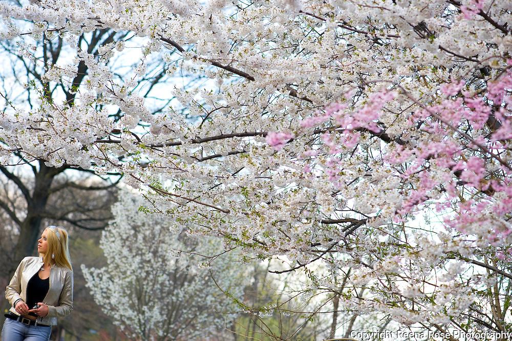Cherry Blossoms,<br /> Branch Brook Park,<br /> Newark, NJ
