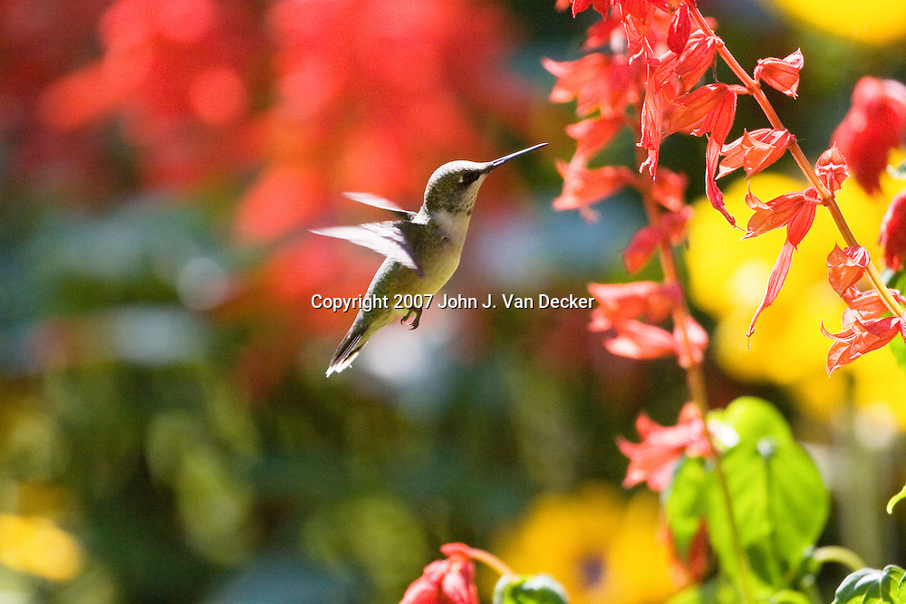 Ruby-throated Hummingbird, Archilochus colubris, hovering