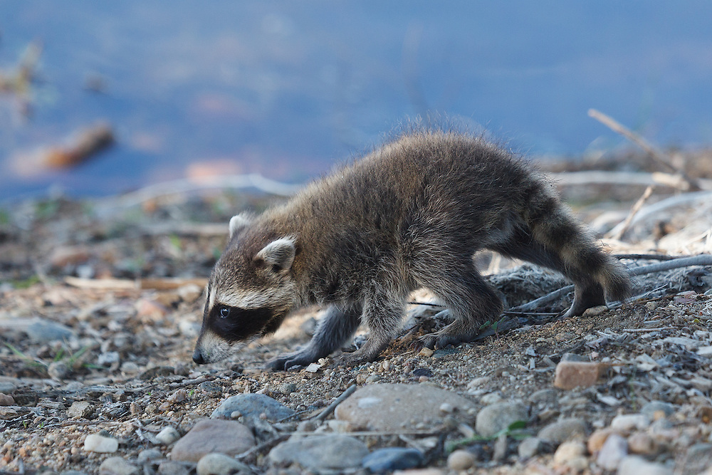 Baby raccoon at Walden Ponds Wildlife Habitat in Boulder, Colorado