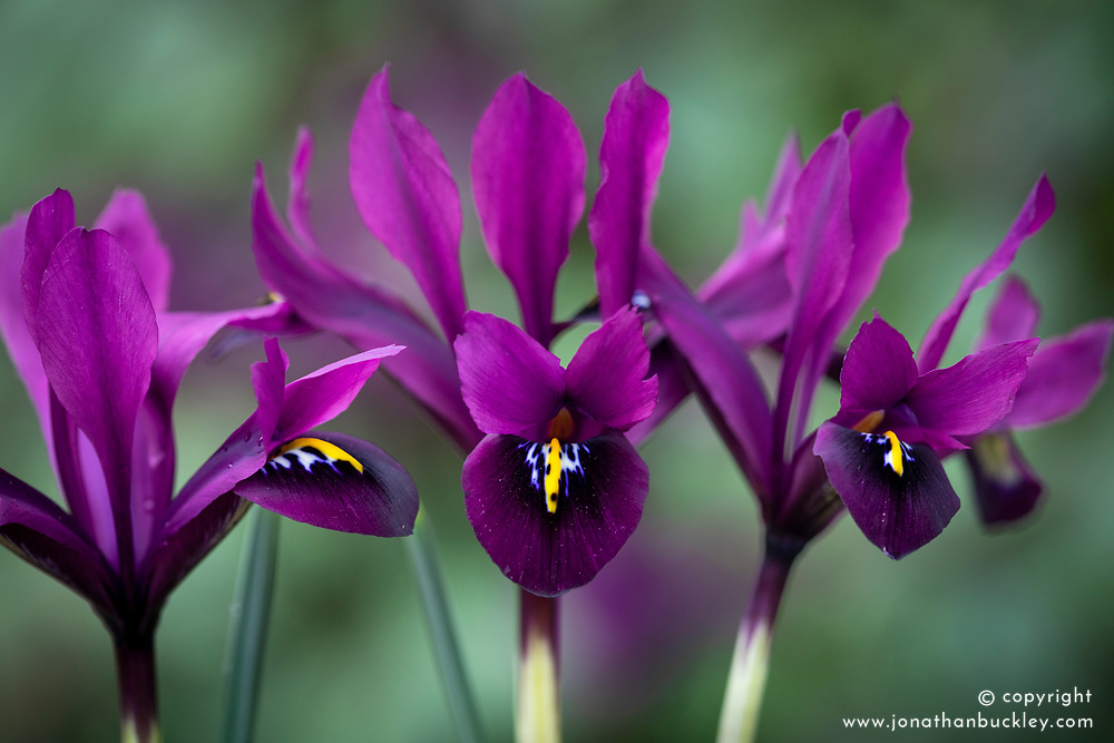 Iris 'George' (Reticulata) syn. Iris histrioides 'George'