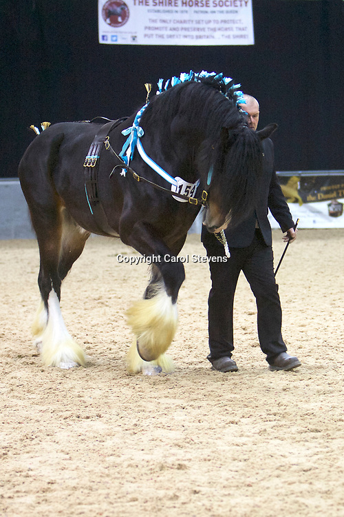 Ms D Hoggarth's CORNEY MILL SPENCER  (No.154)<br /> Sire  Knutsford Edward The Second<br /> Dam  Borrowdale Ground Mildred  <br /> 5th  Stallions  4 years old