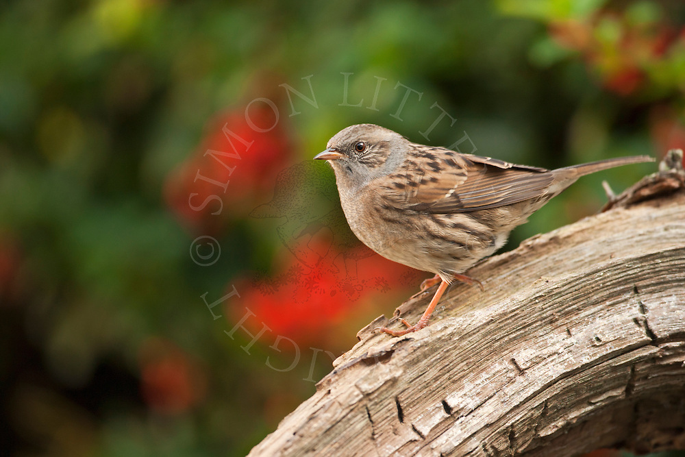 Dunnock (Prunella modularis) adult perched on log, Norfolk, UK.