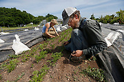 Curtis Millsap and Cammie Rubottom pull weeds out from around the carrots at Millsap Farm on Wednesday, June 8, 2016.