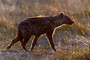 Spotted hyena (Crocuta crocuta) from Maasai Mara, Kenya.