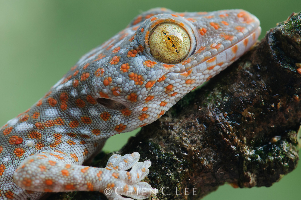 Closeup portrait of a Tokay Gecko (Gekko gecko). Uthai Thani, Thailand.