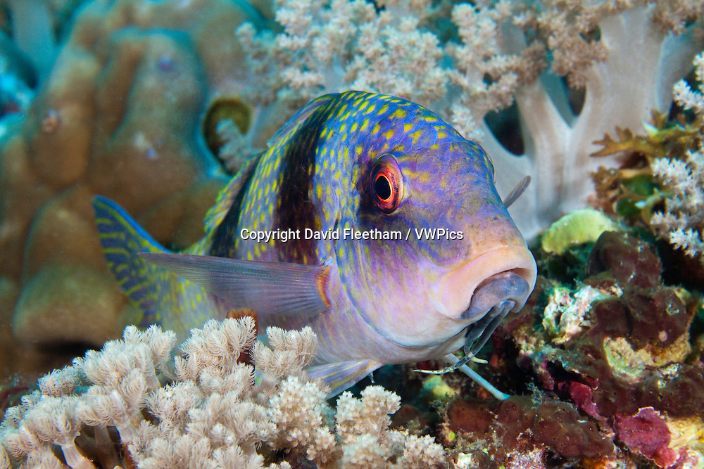 This doublebar goatfish, Parupeneus bifasciatus, is resting on the reef between soft coarl trees showing a view of the twin barbels under it's chin, Tubbataha Reef, Philippines.