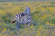 Zebra grazing amid flowers, Ngorongoro Conservation Area, Tanzania.