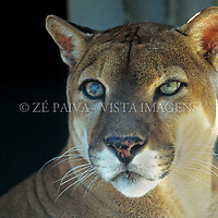 "Puma, ""Felis concolor"", Santa Catarina, Brasil. foto de Ze Paiva/Vista Imagens"