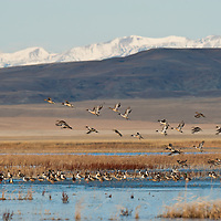 many pintail ducks riseing from lake with rocky mountain front background, crown of the continent