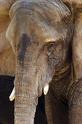 24 July 2005.  <br /> African Elephant.<br /> Memphis Zoo.  Memphis TN (Photo by Alan Look)