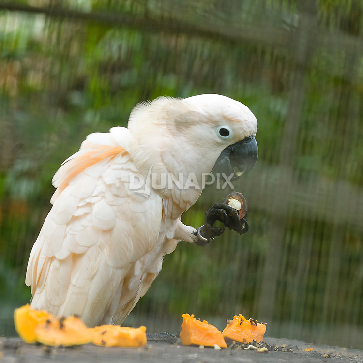 Seram cockatoos at the Masihulan Wildlife Rehabilitation Center feast on papaya and kenari nuts.